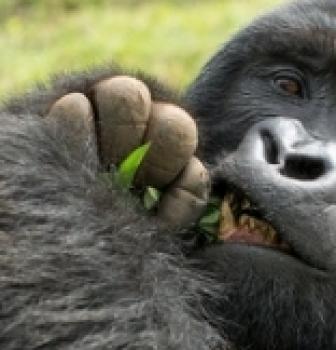 Bwindi's  Mountain Gorillas