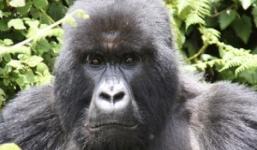3 Days Gorillas Uganda Rwanda