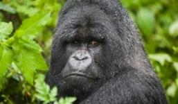 8 Days Primates of Uganda and Rwanda