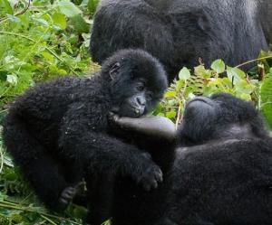 young gorillas in rwanda