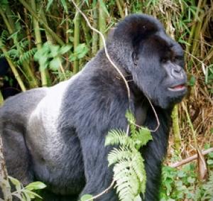 Sliverback gorills