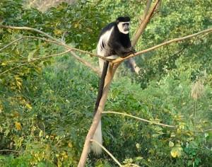 primates of bwindi